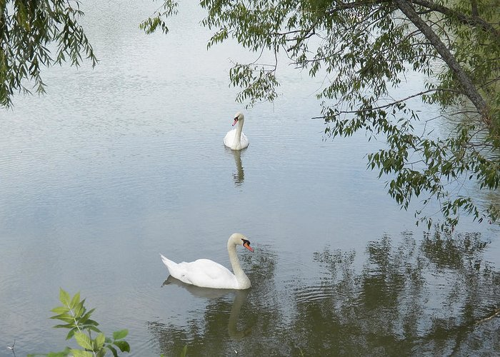 Swan Greeting Card featuring the photograph Peaceful by Corinne Elizabeth Cowherd