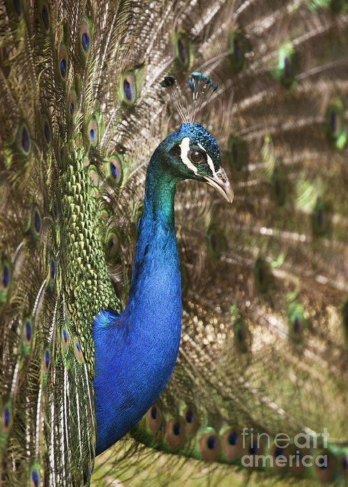 Male Greeting Card featuring the photograph Peacock Display by Richard Garvey-Williams