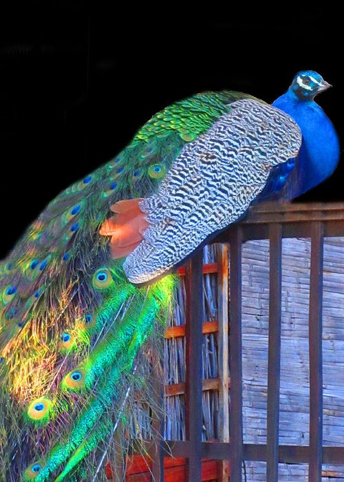 Peacock Greeting Card featuring the photograph Peacock Poses by Vijay Sharon Govender