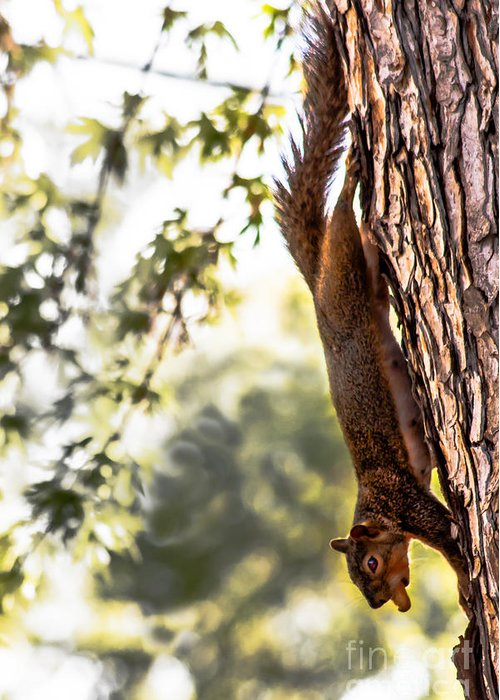 Squirrel Greeting Card featuring the photograph Peanut Run by Robert Bales