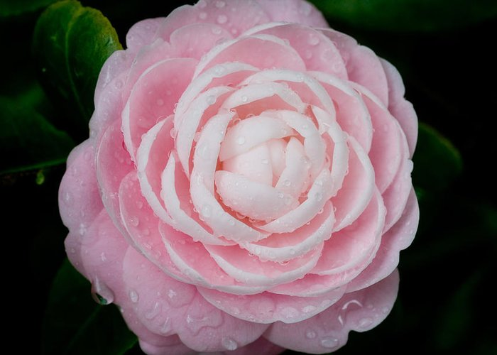 Camellia Greeting Card featuring the photograph Pefectly Pink by Rich Franco
