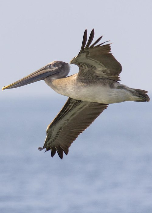 Pelican Greeting Card featuring the photograph Pelican by Alan Raasch