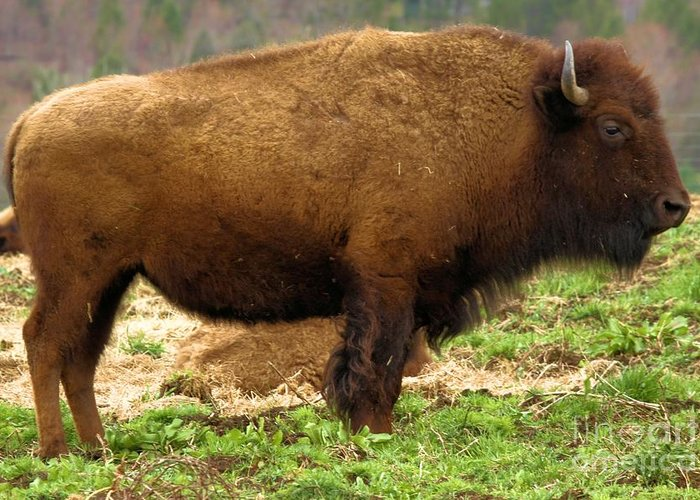 Bison Greeting Card featuring the photograph Pennsylvania Bison by Adam Jewell