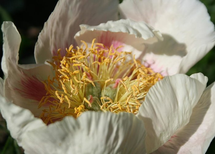 Flower Greeting Card featuring the painting Peony Centre by Betty-Anne McDonald