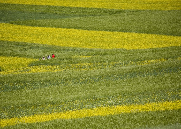 Qinghai Province Greeting Card featuring the photograph People In A Rapeseed Field by David Evans