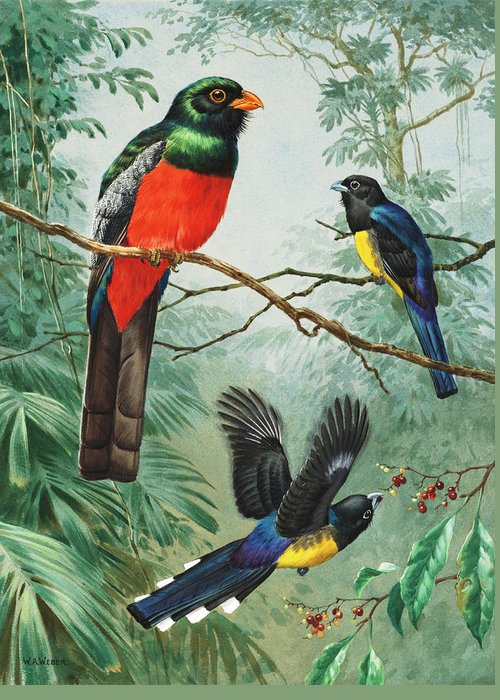 National Geographic Society Greeting Card featuring the photograph Perched And Flying Trogons Are Seen by Walter A. Weber