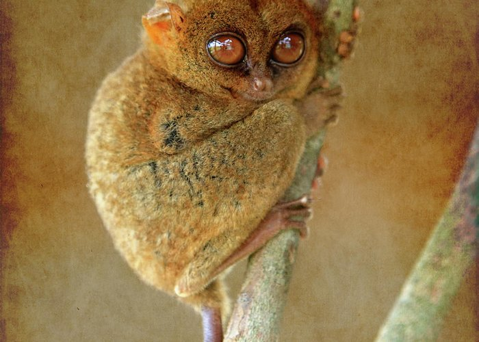 Affen Greeting Card featuring the photograph Philippine Tarsier by Joerg Lingnau