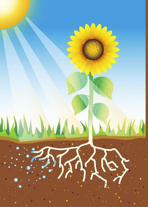 Sunflower Greeting Card featuring the photograph Photosynthesis, Artwork by David Nicholls