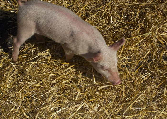 Pig. Piglet. Hoof. Straw. Beacon.snout. Ears. Pink. Tail. Nature. Outdoors. Farm. Animal. Wildlife. Ham. Cooking. Food. Feeding. Roast Pig. Greeting Card featuring the photograph Pig. Yummy Roasted by Michael Clarke JP