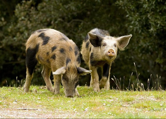 Piglets Greeting Card featuring the photograph Piglets Foraging In Woodland by Bob Gibbons