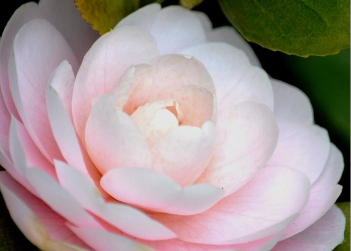 Pink Greeting Card featuring the photograph Pink Camellia Flower by P S