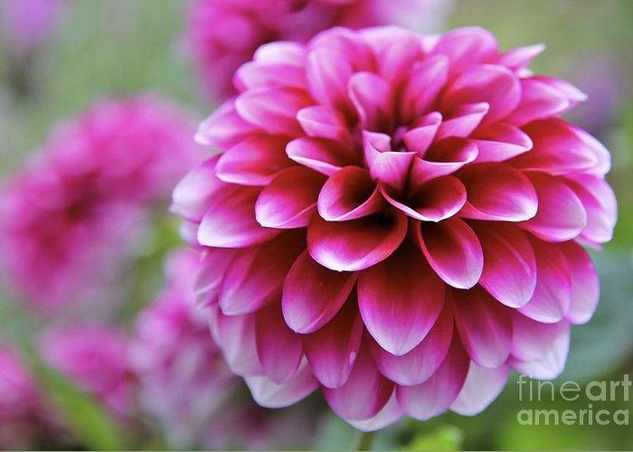 Dahlia Greeting Card featuring the photograph Pink Dahlia by Mihaela Limberea
