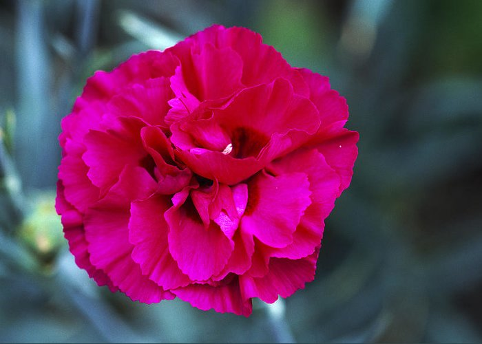'carlotta' Greeting Card featuring the photograph Pink Flower (dianthus 'carlotta') by Archie Young