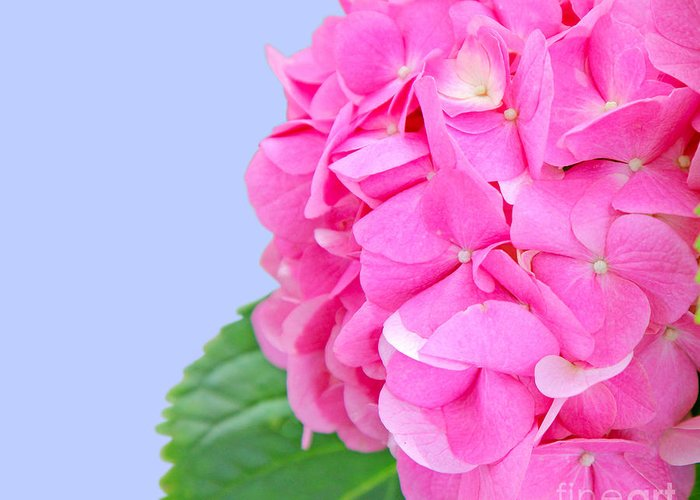 Hydrangea Greeting Card featuring the photograph Pink Hydrangea by Susan Wall
