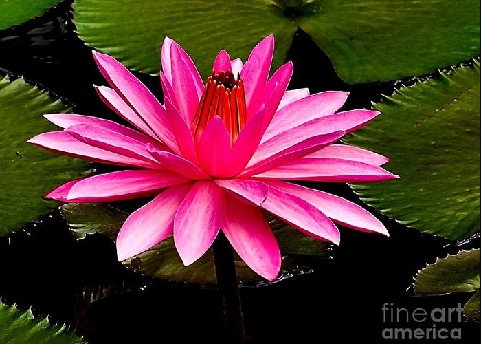 Aquatic Greeting Card featuring the photograph Pink Lily by Nick Zelinsky