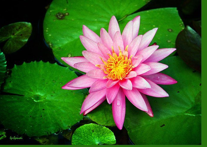 Water Lily Greeting Card featuring the photograph Pink Nymphaea by Lisa Spencer