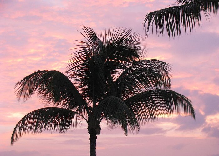 Palm Greeting Card featuring the photograph Pink Palm by Fred Sheridan
