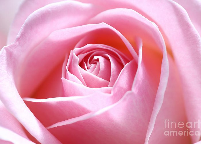 Pink Greeting Card featuring the photograph Pink Rose by LHJB Photography