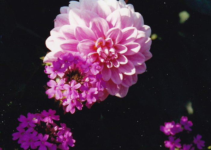 Pink Flowers Greeting Card featuring the photograph Pinkish Purplish by Barbara Plattenburg