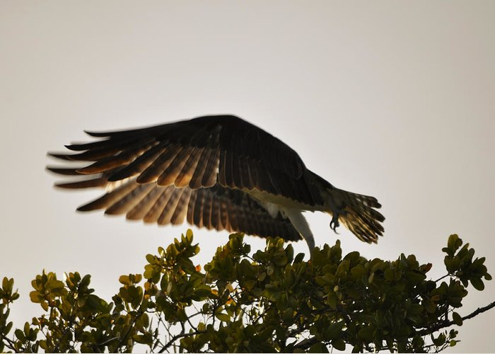 Osprey Taking Flight Greeting Card featuring the photograph Poetry in Motion by Christine Stonebridge