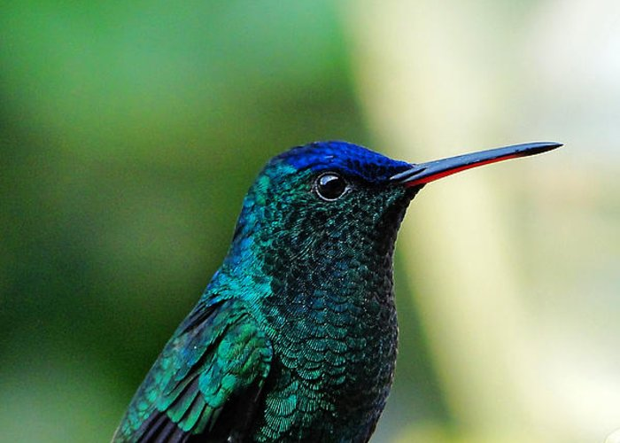 Hummingbird Greeting Card featuring the photograph Poised by Blair Wainman