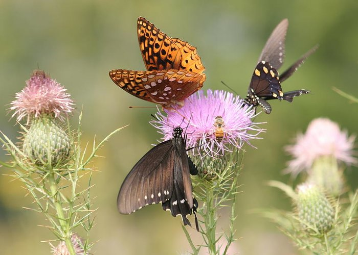 Butterflies Greeting Card featuring the photograph Pollen Party by Christopher Ewing