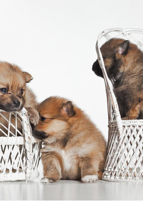 Puppies Greeting Card featuring the photograph Pomeranian 3 by Everet Regal