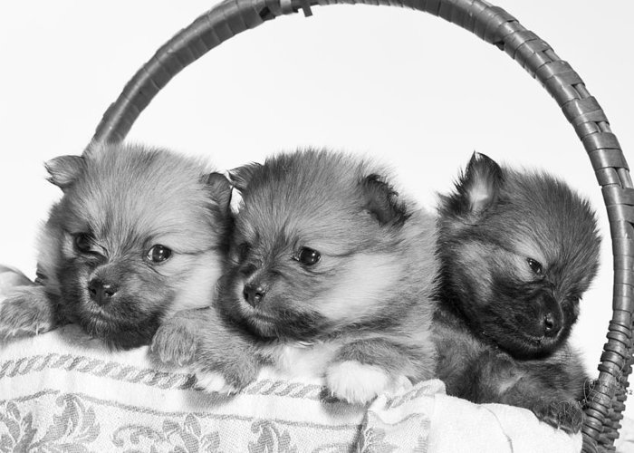 Puppies Greeting Card featuring the photograph Pomeranian by Everet Regal