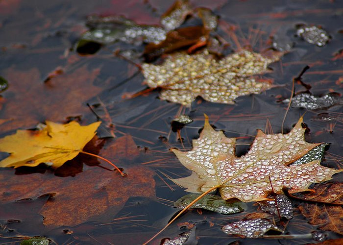 Usa Greeting Card featuring the photograph Pond Leaf Dew Drops by LeeAnn McLaneGoetz McLaneGoetzStudioLLCcom