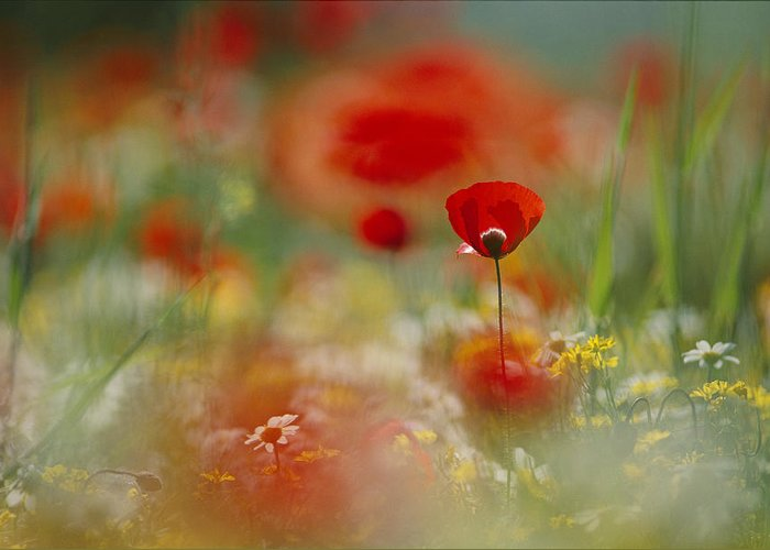 Outdoors Greeting Card featuring the photograph Poppies And Wildflowers In The Desert by Annie Griffiths