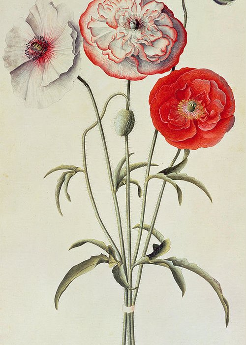 Print; Pattern; Leaves; Leaf; Botanical; Nature; Plant; Branch; Branches; Plants; Flowers Greeting Card featuring the painting Poppies Corn by Georg Dionysius Ehret