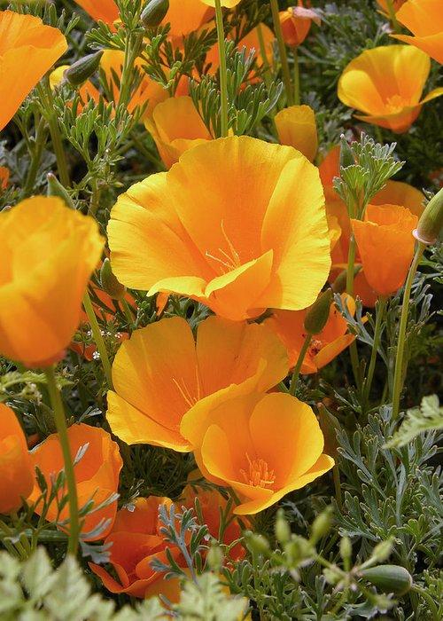 Eschscholzia Californica Greeting Card featuring the photograph Poppies (eschscholzia Californica) by Tony Craddock