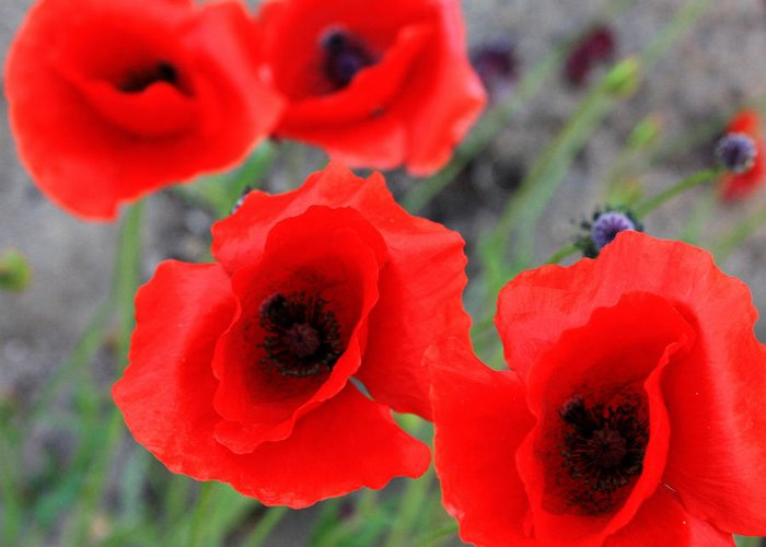 Elm Greeting Card featuring the photograph Poppies Of Stone by Empty Wall
