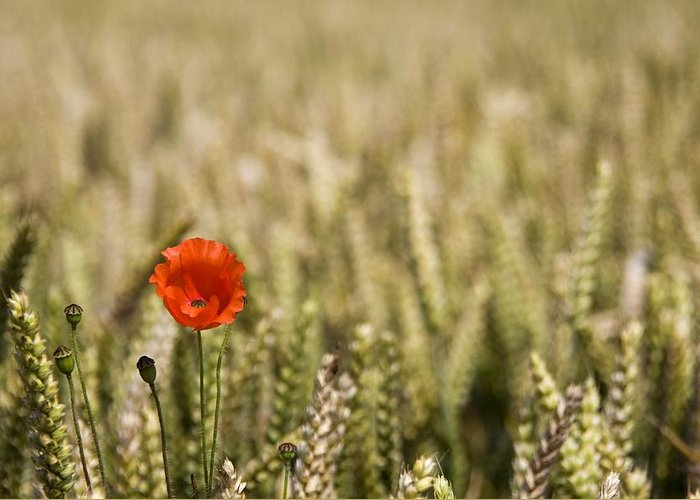 Color Greeting Card featuring the photograph Poppy Flower In Field Of Wheat by John Short