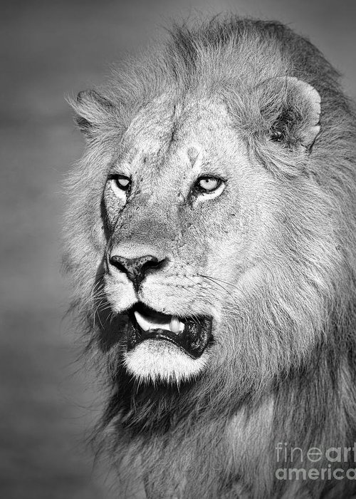 Male Greeting Card featuring the photograph Portrait Of A Lion by Richard Garvey-Williams