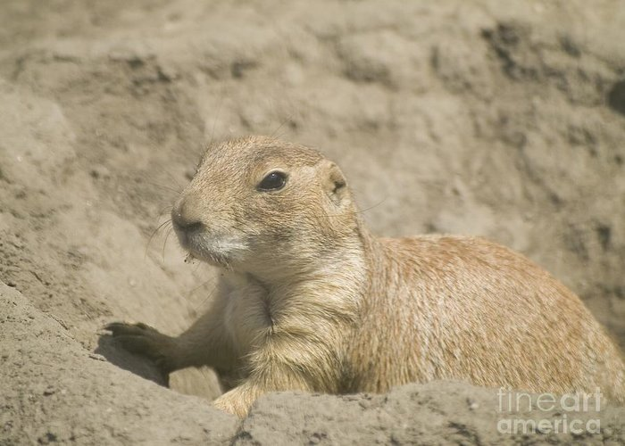 Animal Greeting Card featuring the photograph Prairie Dog by Odon Czintos