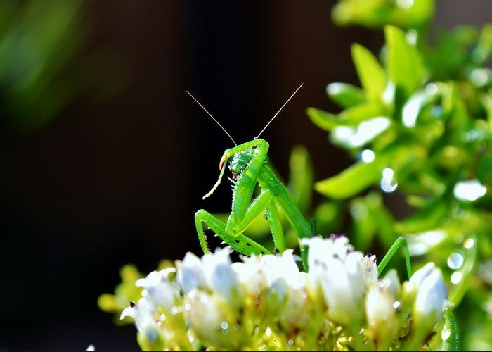 Close Up; Green; Praying Mantis; Insect; Nature; Garden; Eyes; Flower; White; Plant; Leafs; Background; Decorative; Greeting Card featuring the photograph Praying Mantis by Werner Lehmann