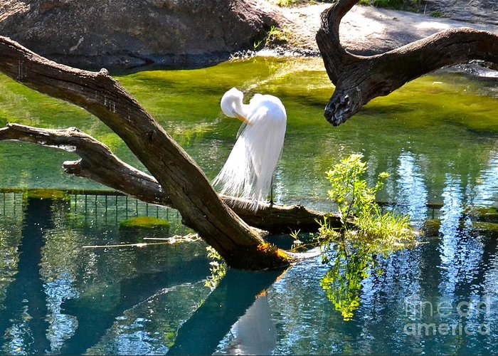 Egret Greeting Card featuring the photograph Preening by Carol Bradley