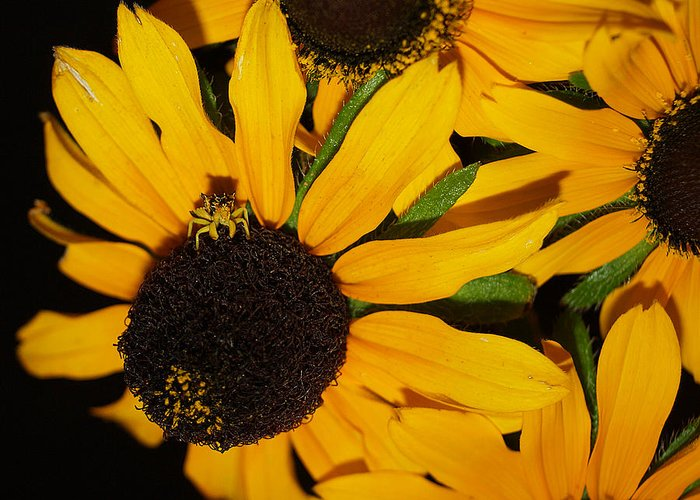 Black Eyed Susans Greeting Card featuring the photograph Pretend I'm A Flower by Irma BACKELANT GALLERIES