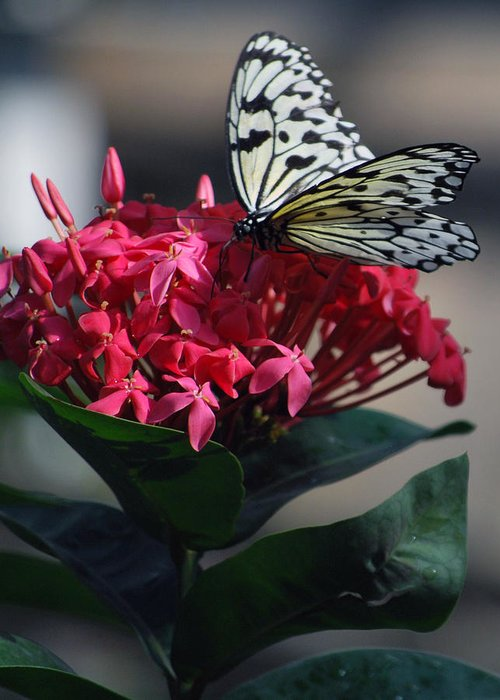 Pink Flower With Black And White Butterfly Greeting Card featuring the photograph Pretty On Pink by Amee Cave