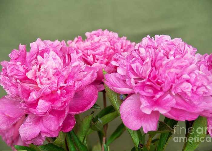 Photograph Greeting Card featuring the photograph Pretty Peonies by Bob and Nancy Kendrick