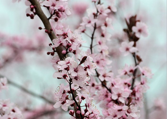Pink Greeting Card featuring the photograph Pretty Pink Flowering Tree by P S
