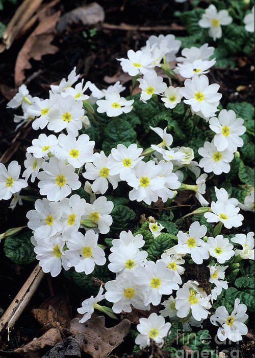 Primula 'gigha White' Greeting Card featuring the photograph Primroses by Adrian Thomas