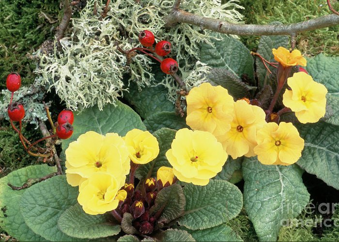 Primrose Greeting Card featuring the photograph Primroses by Archie Young