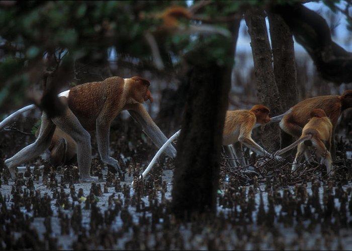 Nasalis Larvatus Greeting Card featuring the photograph Proboscis Monkeys Travel Over Mangrove by Tim Laman