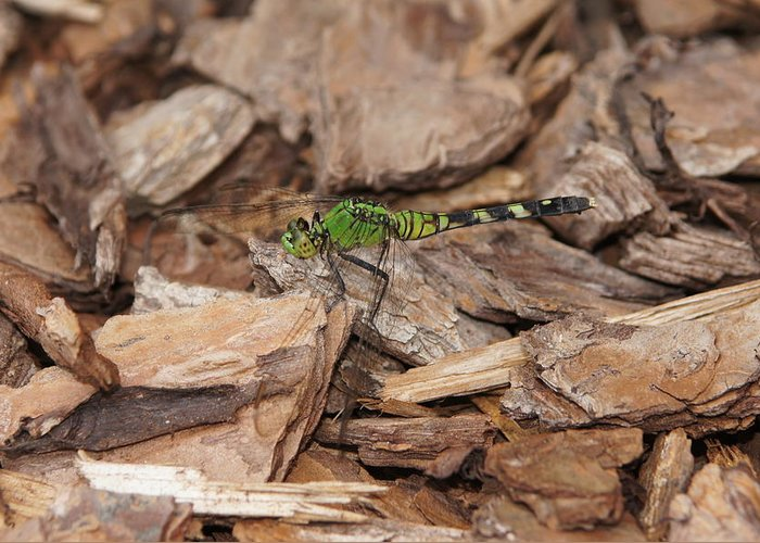 Dragonfly Greeting Card featuring the photograph Profile Of Green Dragonfly by Megan Cohen
