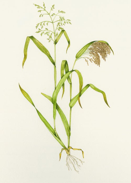 Common Millet Greeting Card featuring the photograph Proso Millet (panicum Miliaceum), Artwork by Lizzie Harper