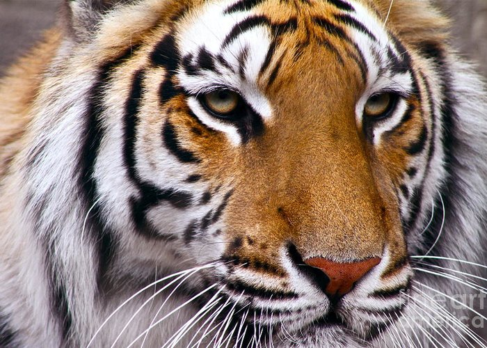 Bengal Tiger Greeting Card featuring the photograph Proud by Eric Chapman
