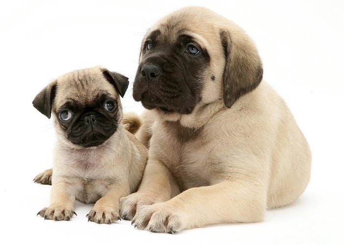 Animal Greeting Card featuring the photograph Pug And English Mastiff Puppies by Jane Burton