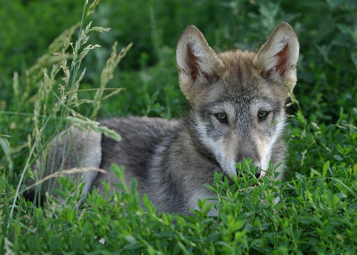 Wolf Greeting Card featuring the photograph Pup In The Grass by Shari Jardina
